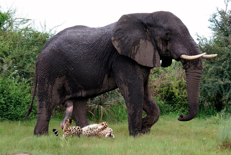 """El """"tigre"""" y el elefante acariciado"""