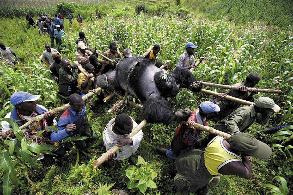 Evacuación de un gorila muerto