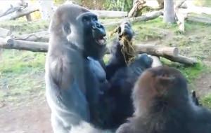 Dos gorilas, una taza