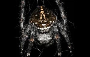 La araña de corteza de Darwin practica el cunnilingus