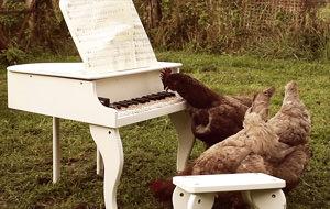 La sinfonía de mi pollo