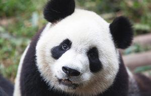 El culo-panda, tu nuevo animal espiritual