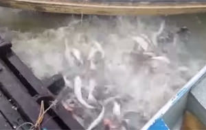 Dando de comer a los peces en Brasil