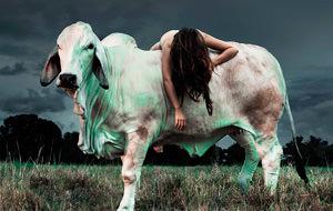 El porno vacuno (Cow porn) de Anne Lamb