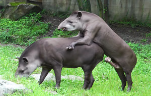 La paradoja del tapir y el problema del tamaño